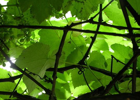 葡萄藤摄影图__树木树叶; 葡萄藤图片[摄影图,jpg]; 七楼的葡萄藤·夏