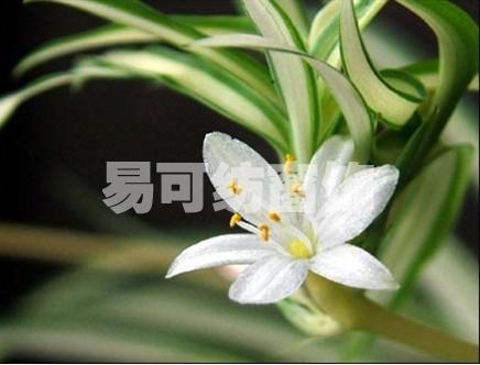 还会开一些小白花,花蕊呈黄色,可以赏心悦目.