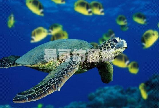 海龟是奇妙的动物,成年的雌海龟在每年的四月到十月的繁殖季节,会穿越茫茫的大海回到遥远的自己出生的海滩繁殖。它们在沙滩上发掘一个洞穴,然后将卵产在里面,然后用沙把卵覆盖好,再回到海里。海龟在地球上已经有两亿年的历史了,被称为活化石,可是这种长寿的生物正因为人类的破坏活动而陷入险境。  人类造成的海洋污染、空气污染造成了大量海龟中毒死亡。另外人类对海龟的产卵区域大肆破坏,人类过度发展旅游破坏生态沙滩,移走沙石后沙滩就成了砾滩,乱丢弃的生活垃圾、固体废弃物让海滩成了垃圾厂,减少了海龟筑巢的场所让海龟卵无处安放,